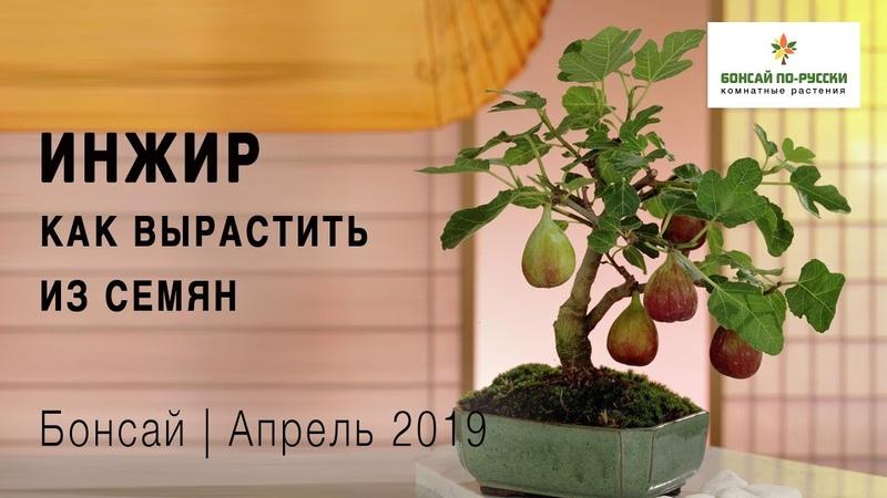 Как вырастить инжир в домашних условиях Апрель 2019 How to grow figs at home