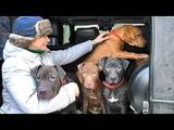 Щенки Американского Питбультерьера 4 мес. Puppies American Pit Bull Terrier 4 months.
