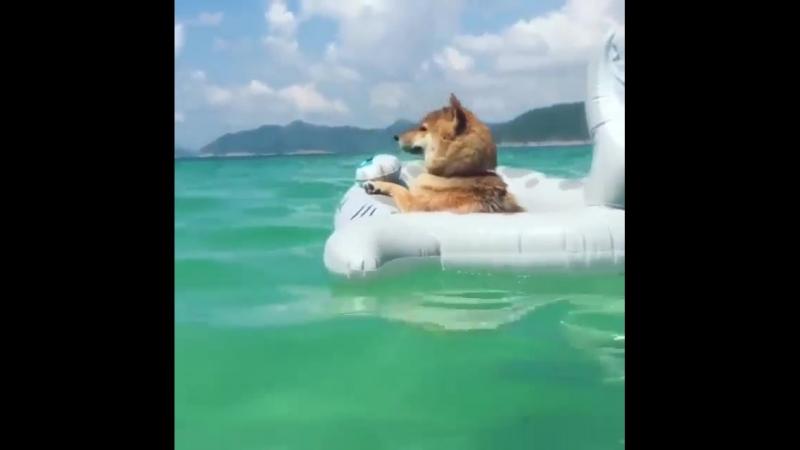 Пес плавает