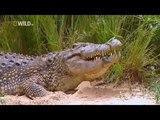 Фауна Африки. Акула или крокодил. Борьба двух древнейших хищников. Документальныи
