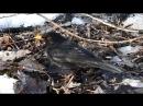 Чёрный дрозд и лесной клоп