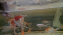 Недорогой корм для золотых рыбок карасей карпов КОИ и т п