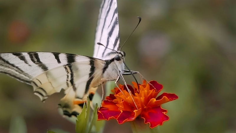 Бабочка Парусник Подалирий (красная книга Украины)
