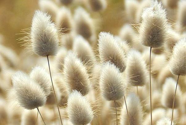 ЗАЙЦЕХВОСТ(ЛАГУРУС) Зайцехвост(лагурус яйцевидный) многостебельное растение высотой до 60 сантиметров. Ценится благодаря декоративным пушистым соцветиям-метелкам. Зайцехвост получил свое имя по