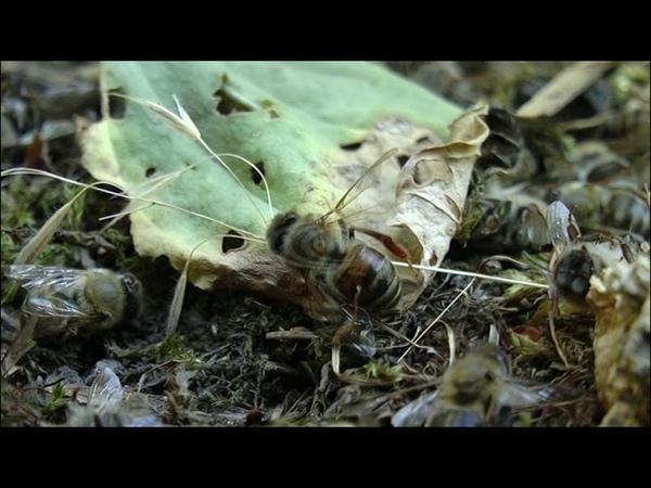 Массовая гибель пчел - 21.06.2018
