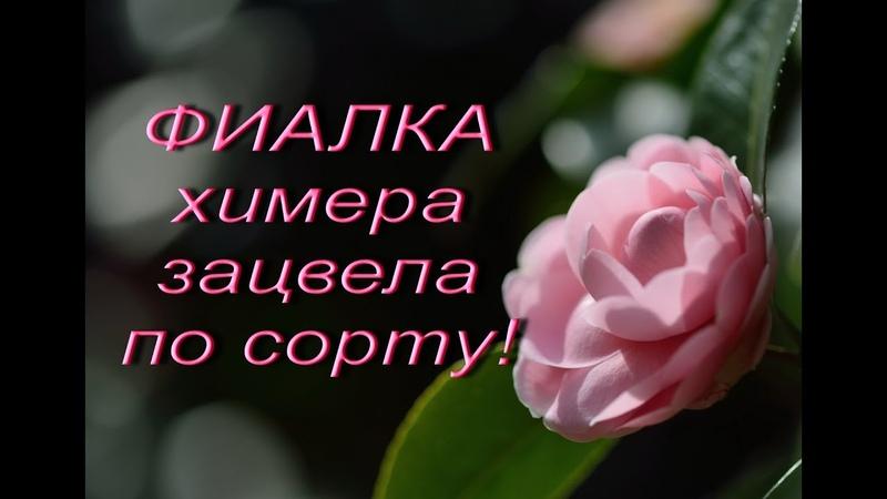 ФИАЛКА - ХИМЕРА зацвела ПО СОРТУ!