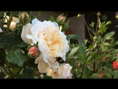 Crocus Rose David Austin шмель 🐝