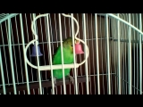 Мой новый питомец - волнистый попугай Яша)))