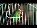 Мой новый питомец - волнистый попугай Яша