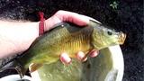 Рыба для пруда! Разведение рыбы, карпа, белого амура, толстолобика, карася!
