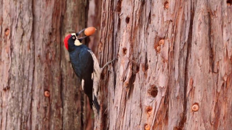 Youd Never Guess What an Acorn Woodpecker Eats(Deep Look)