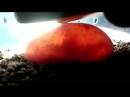 Varanus salvator 100 день инкубации