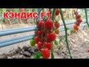Высокоурожайный томат черри КЭНДИС F1