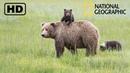 NATIONAL GEOGRAPHIC Дикая природа Аляски Бурые медведи и обилие вулканов 09 02 2017