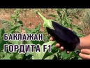 ГОРДИТА F1 - Высокоурожайный гибрид баклажана для экспорта (13-08-2018)
