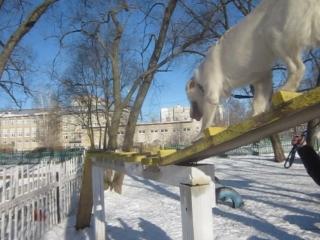 Дрессировка щенка (9 мес ).Ярославль , правильный подход.Заинтересованный владелец.