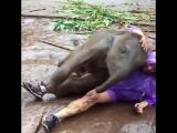 Туристка катается в грязи со слоненком Невероятно милый слоненок играет в грязи с девушкой