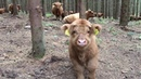 Scottish Highland Cattle In Finland Cute Calf in the Forest