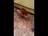Рискуя своей жизнью спасает своих щенят
