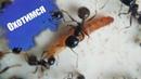 Messor Structor | Охота на личинку жука знахаря.