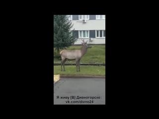Олень вышел к людям в Дивногорске