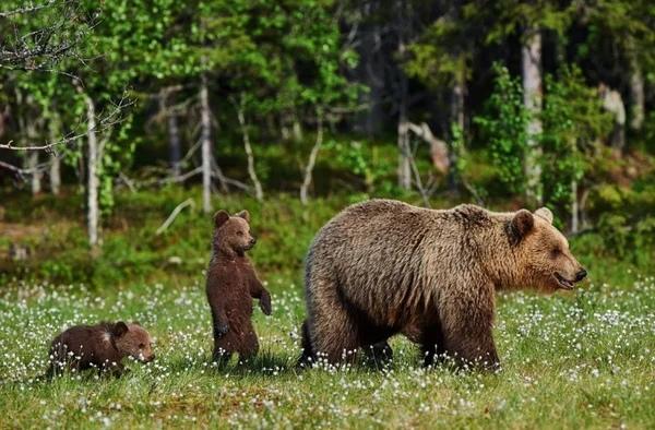 Голодные волки окружали медвежат, их мама умоляла о помощи, встретившись взглядом с дедом... История эта произошла в маленькой сибирской деревушке. Дедушка мой, Иван Петрович уже несколько лет