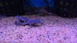 African Dwarf Frog (Hymenochirus boettgeri) - Tropical Fish