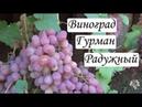 Сорт Винограда Гурман Радужный Урожай Виноград 2018