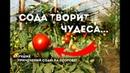 Сода творит чудеса на в саду! 5 супер способов применения соды на огороде!