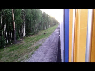 медведь у дороги