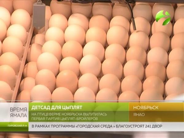 На птицеферме Ноябрьска вылупилась первая партия цыплят бройлеров