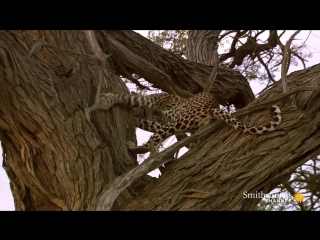 Amazing- Leopard Rockets Up a Tree to Catch Owls