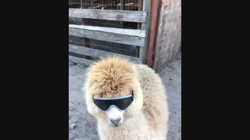 крутая лама