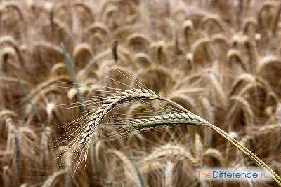Разница между рожью и пшеницей Рожь и пшеница одни из самых популярных культур, которые культивирует человек. Они являются незаменимыми растениями при обеспечении продовольствием людей и