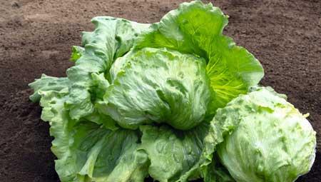 Он может быть не таким насыщенным витаминами или питательными веществами, как более темные, более красочные сорта салата, такие как красный листовой салат или шпинат, но салат айсберг все же может найти свое место в плане здорового питания.