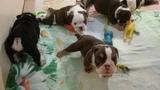 Щенки Английского бульдога шоколад триколор и чёрные триколор. Rare color bulldog puppies.