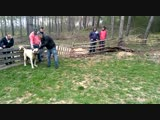 Bosnia Kangal Alaş vs Croatia volkodav Baksan