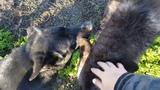 Огромная ручная волчица резвится с немецкими овчарками))