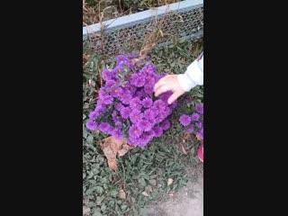 Продолжаю знакомить вас с осенними цветами. Октябрь 2018 года
