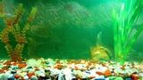 Видео обои - настоящий аквариум с рыбками