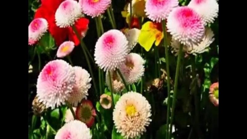 Цветы маргаритка ( 240 X 328 ).mp4