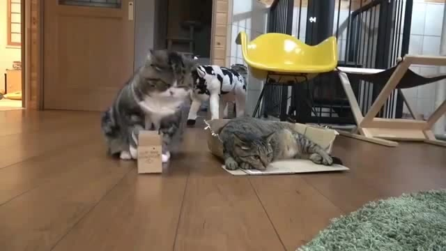 Fat cat does not fit in box