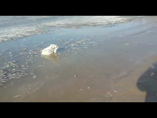 Мертвая рыба в Атырау