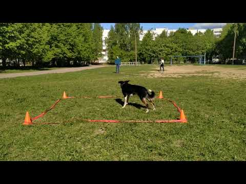 Border collie Mako - obedience