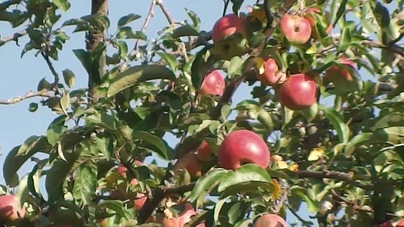 (В-О)-ДАЧА-ЯБЛОКИ-ЯБЛОКИ-ЯБЛОКИ-этот год яблок отпад,ну прямо завались!.