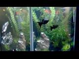 Нано аквариум 27л Моллинезия Чёрная Лира, Данио ГлоФиш