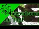 Feigenbaum im Topf   Feigen auf Balkon, Terrasse, Garten erfolgreich anbauen
