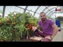 Отличный томат для консервирования Оранжевый земледелец F1