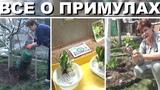 Примулы  - в одном видео подготовка земли, подготовка цветов,ошибки выращивания, посадка