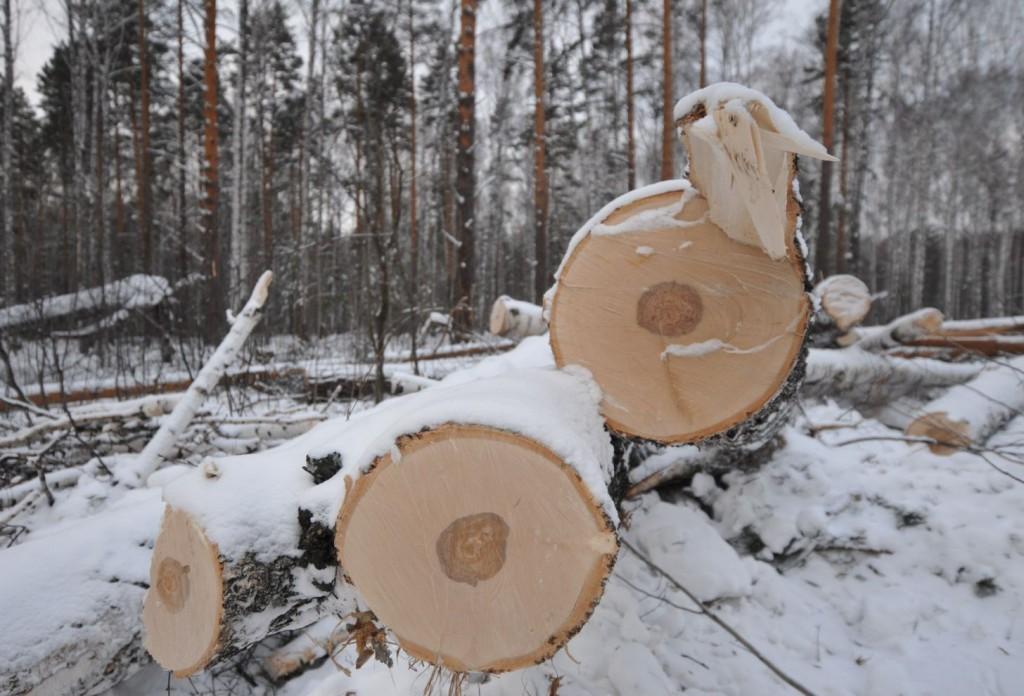 В Славянском районе мужчины незаконно спилили три дерева
